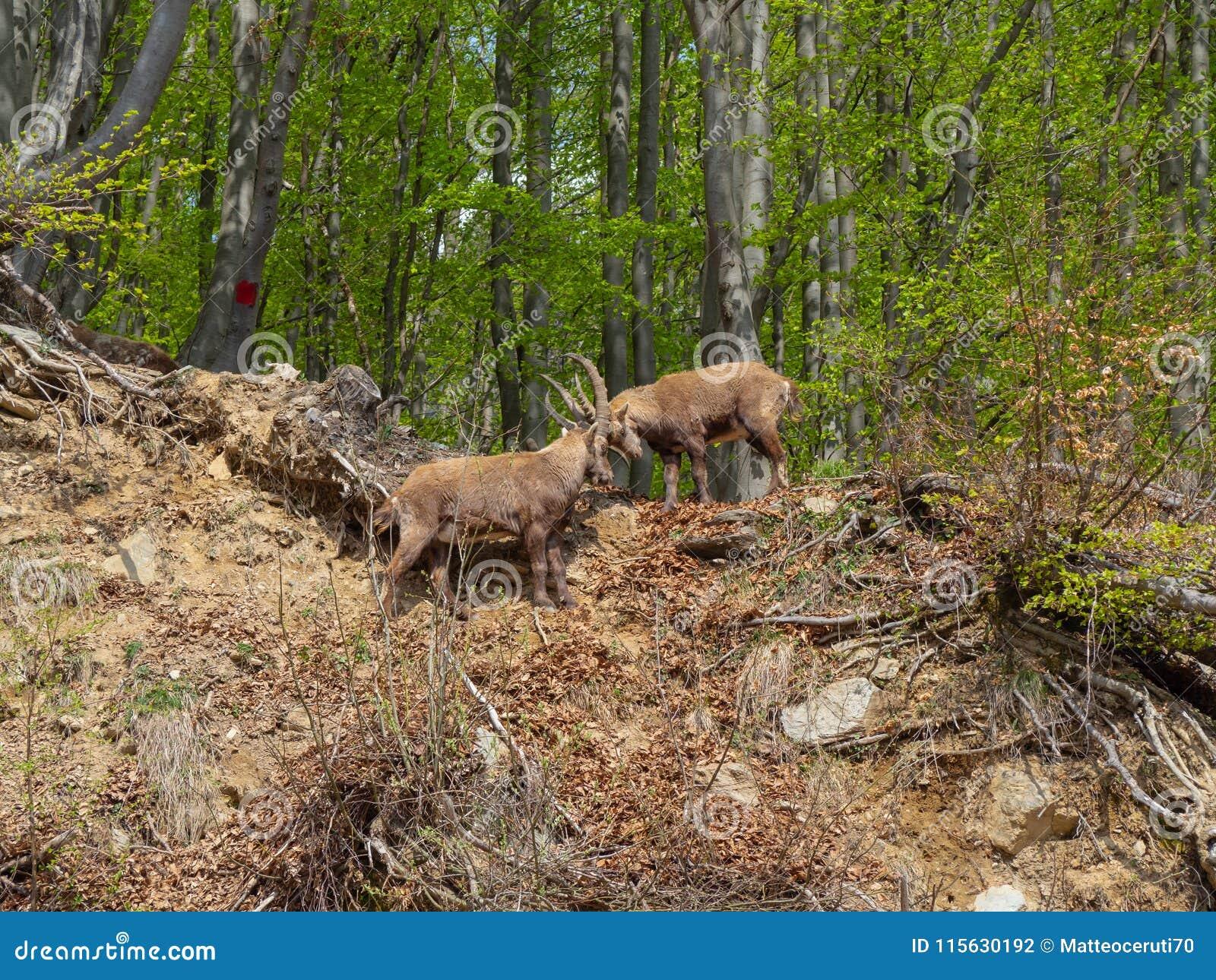 高山高地山羊或steinbock在春季战斗与垫铁 意大利, Orobie阿尔卑斯