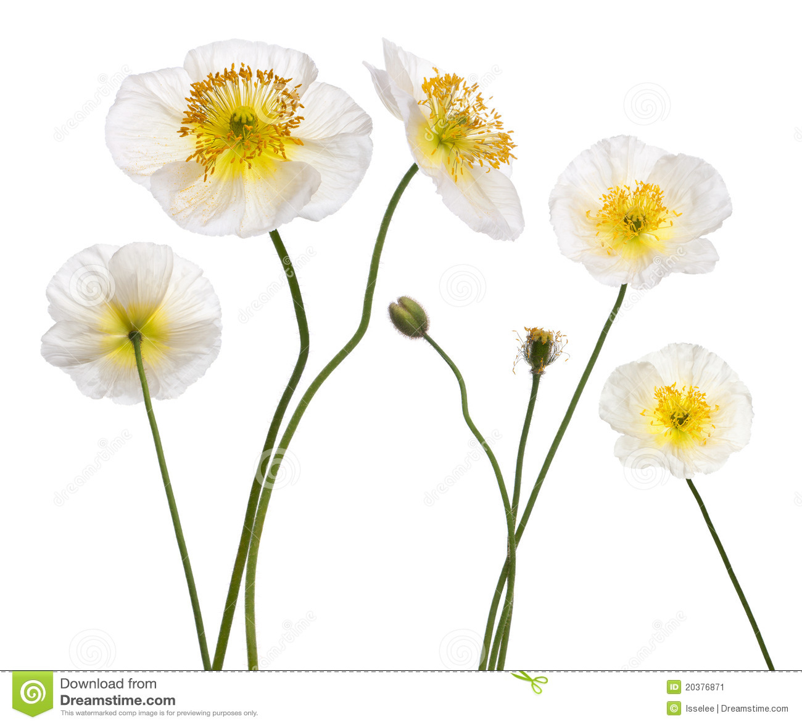 高山alpinum罂粟属鸦片白色
