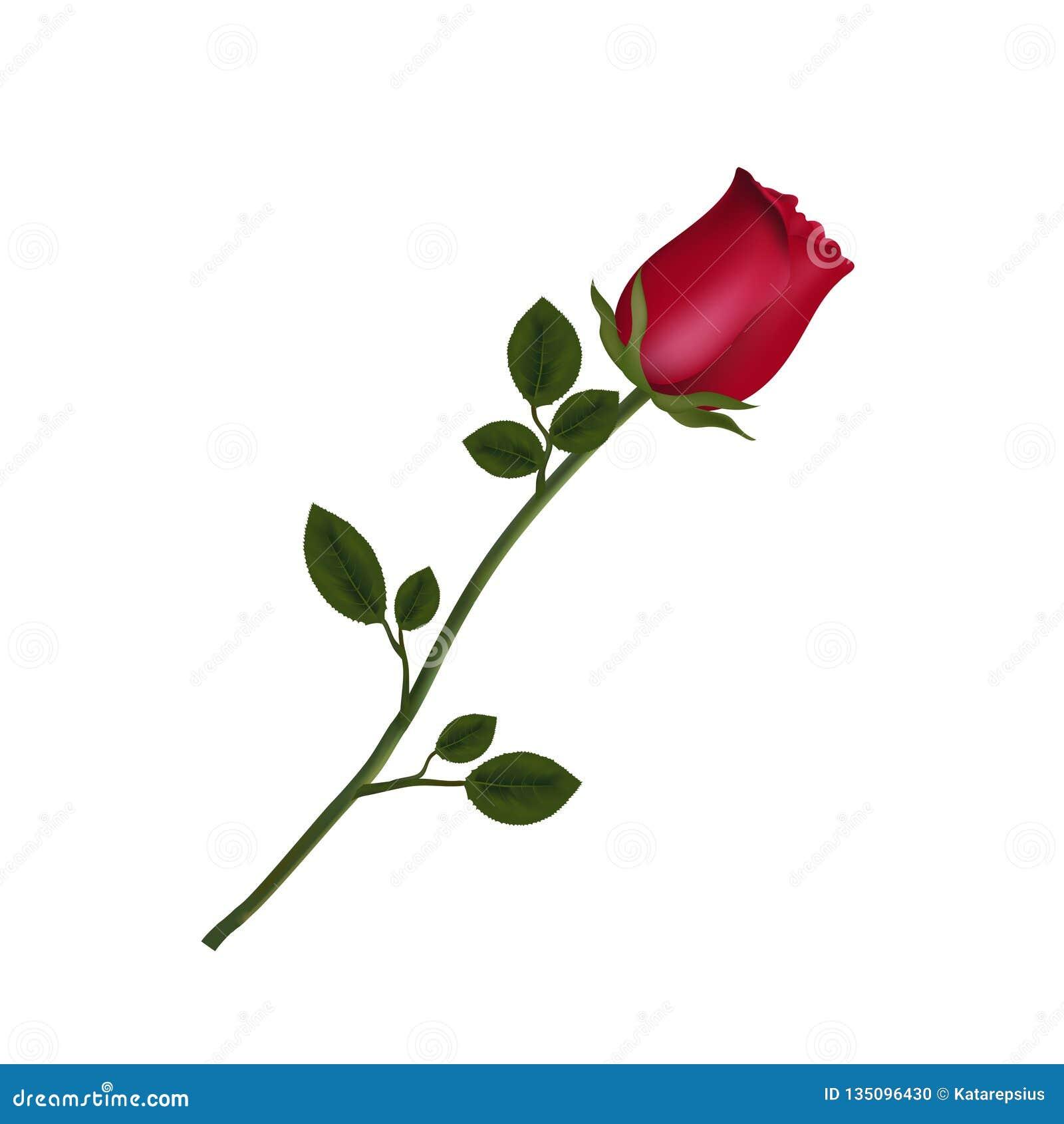 高度详述了在白色背景隔绝的红色玫瑰花
