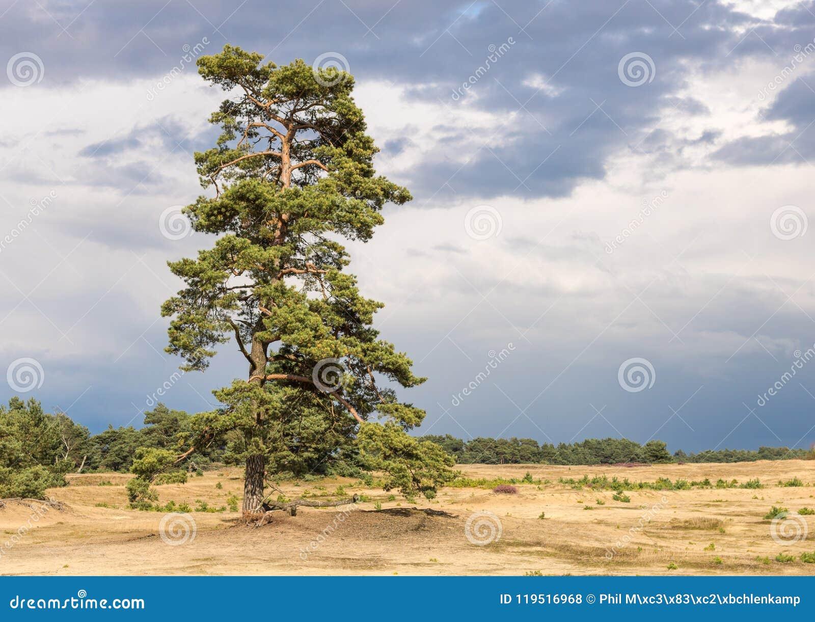 高und美丽的苏格兰松树,站立在沙子diune
