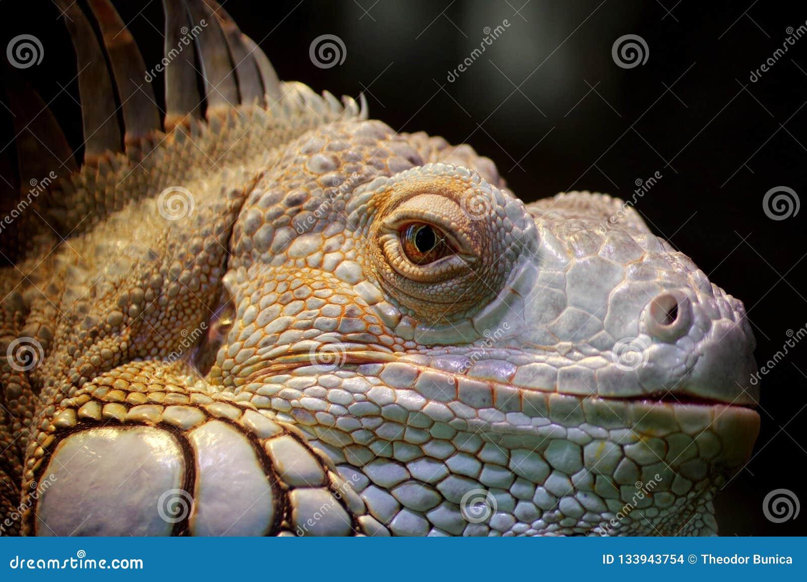 鬣鳞蜥画象