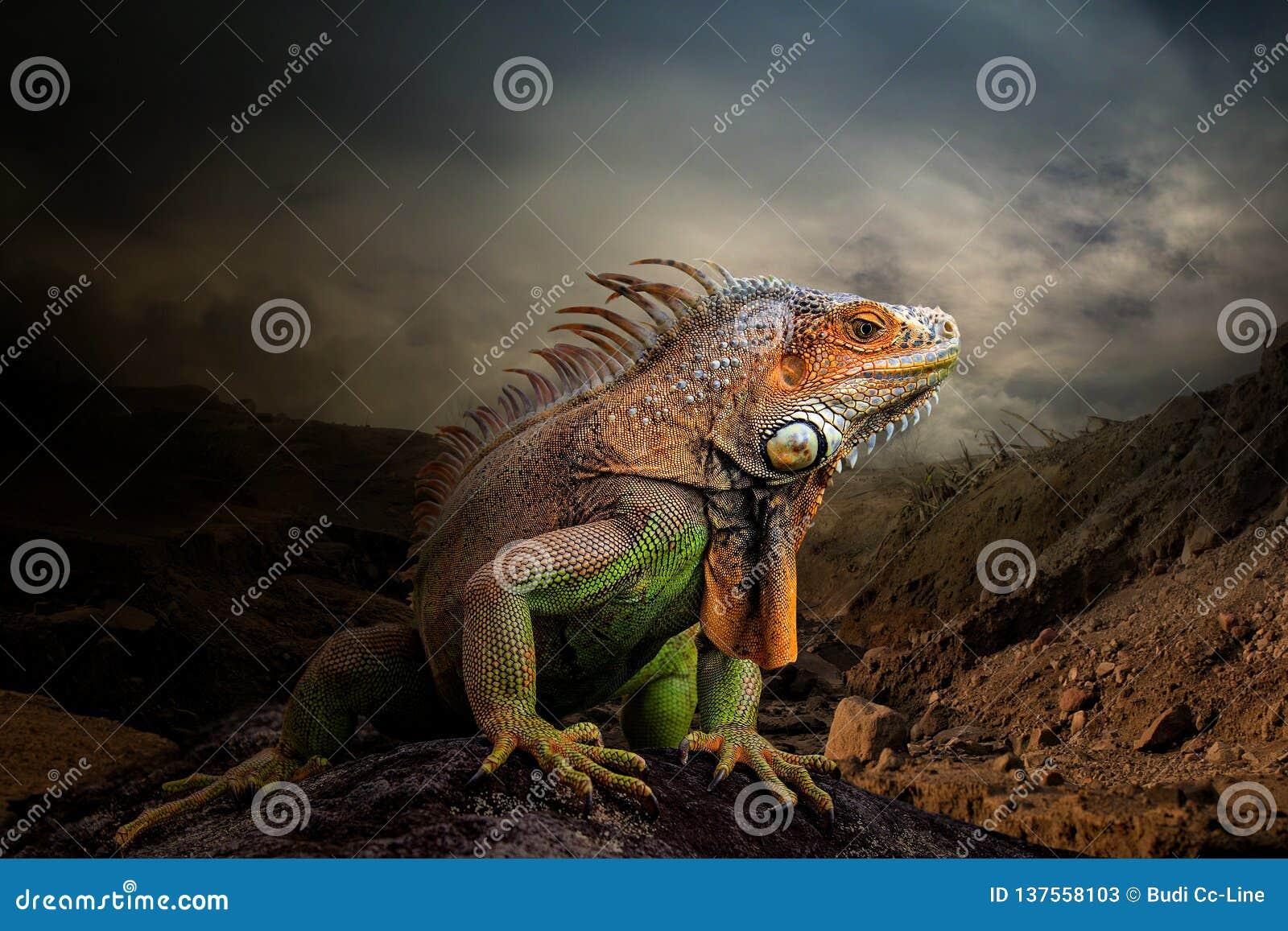 鬣鳞蜥的国王在土地的