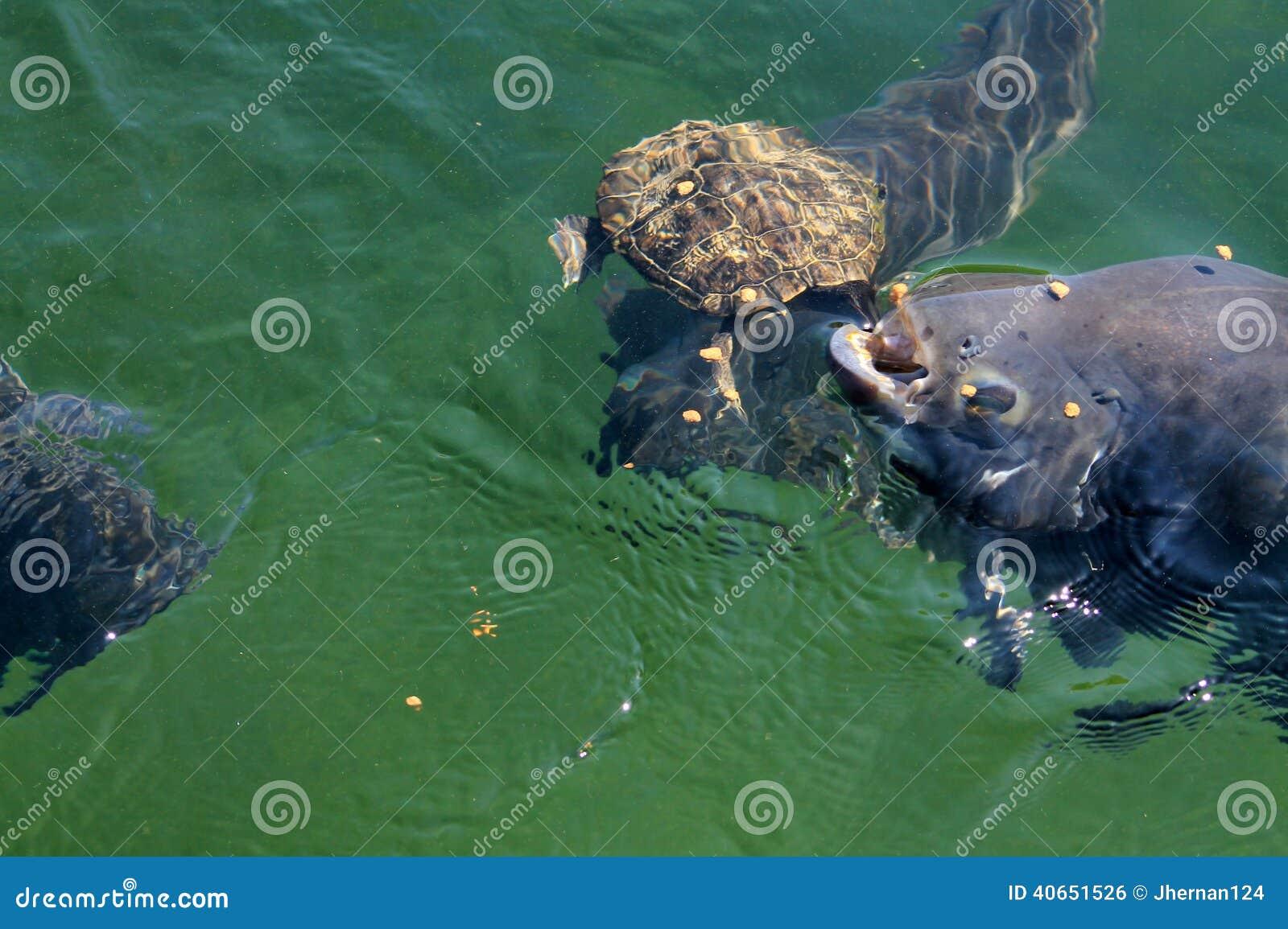 游泳对表面的淡水鱼与游泳乌龟一起吃食物药丸在淡水湖 佛罗里达图片