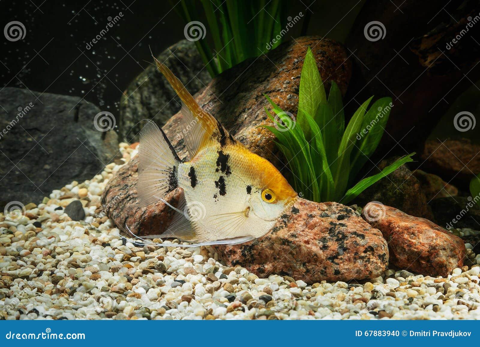 鱼 在水族馆的神仙鱼有绿色植物的和石头
