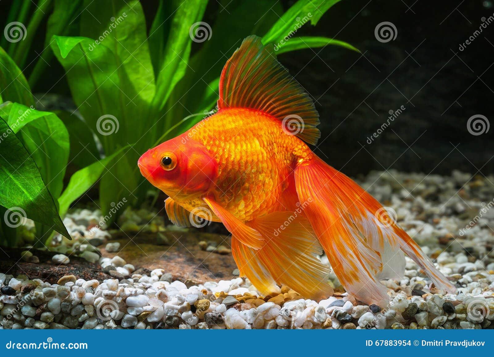 鱼 在水族馆的金鱼有绿色植物的和石头