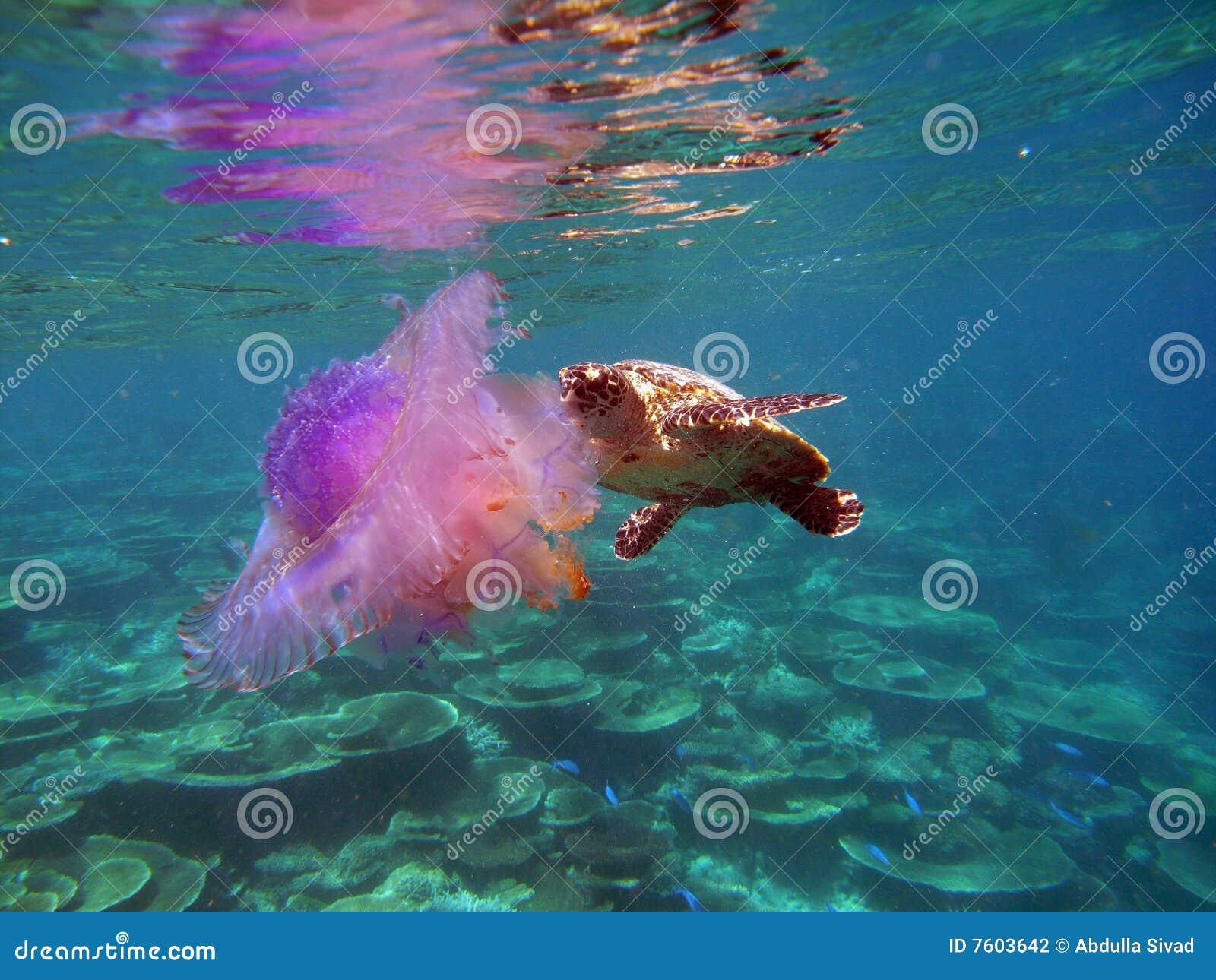 鱼hawksbil果冻乌龟