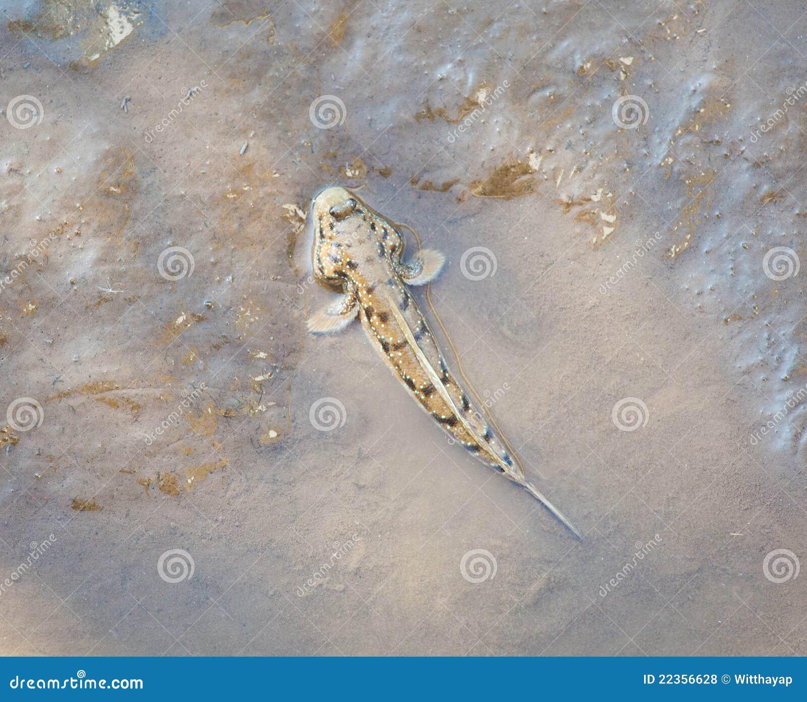鱼mudskipper走