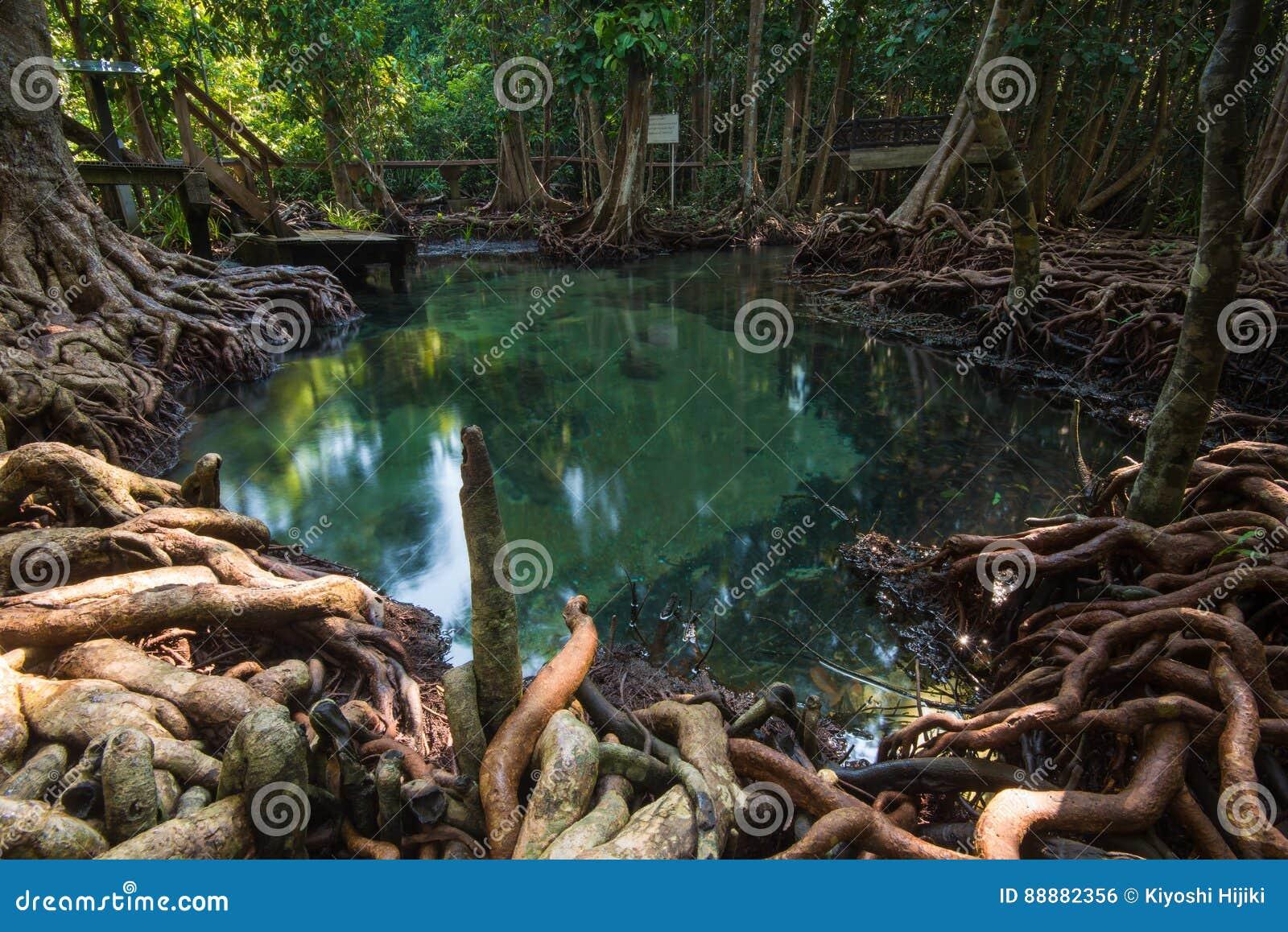 鲜绿色水池在深美洲红树森林里