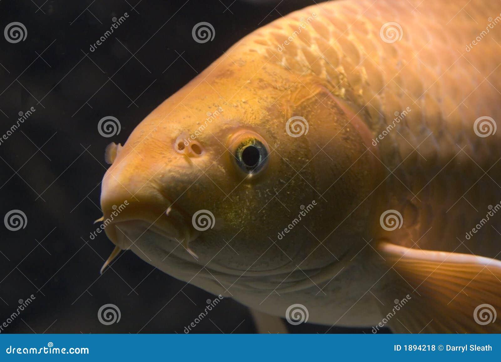 鲤鱼接近金黄