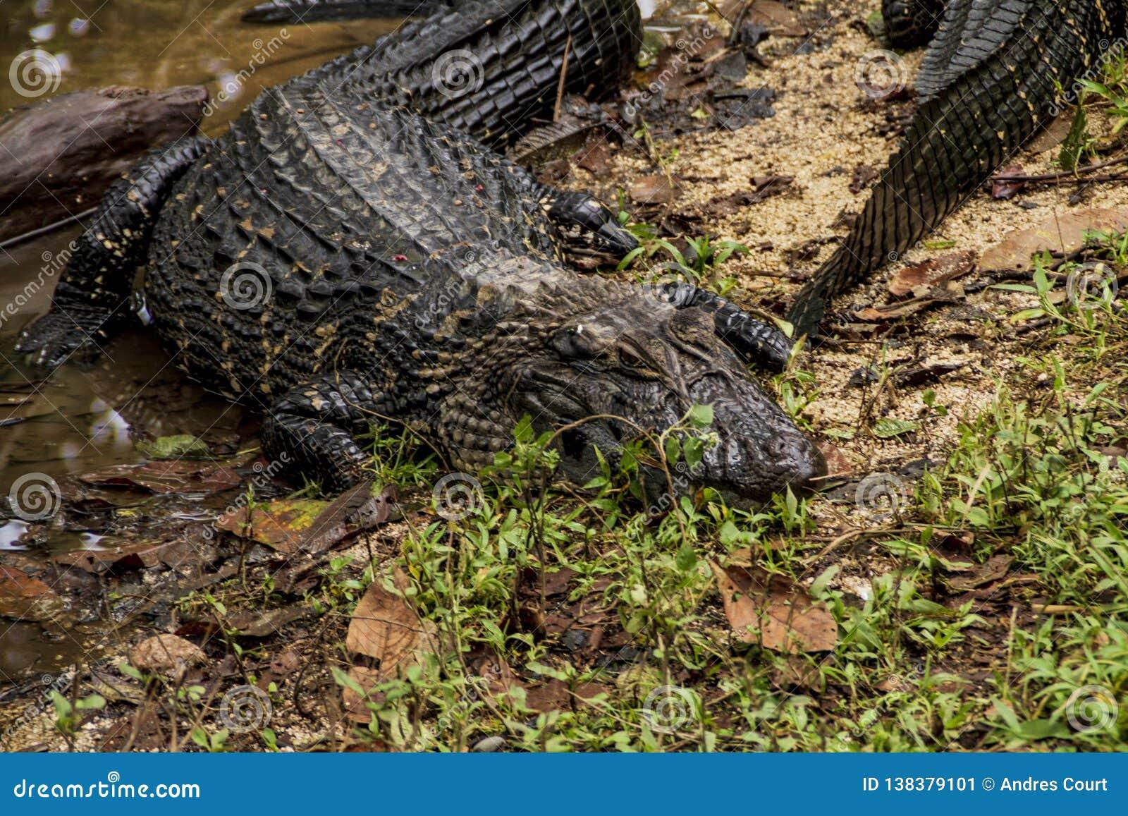 鳄鱼在一个动物园里在亚马逊密林