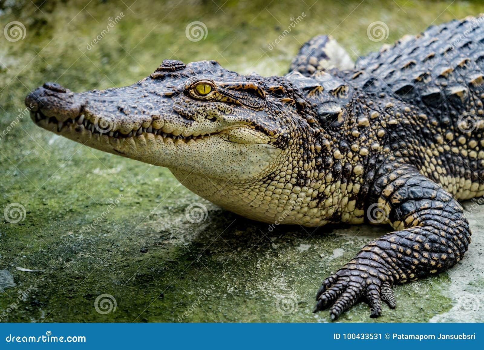 鳄鱼在动物园里