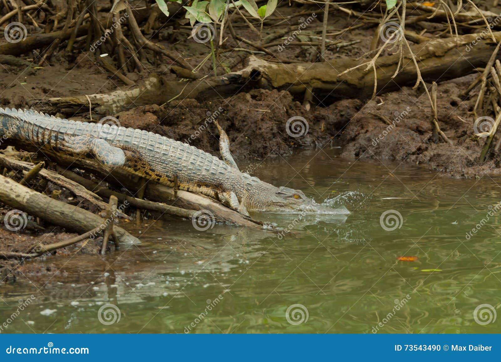 鳄鱼在文莱达鲁萨兰