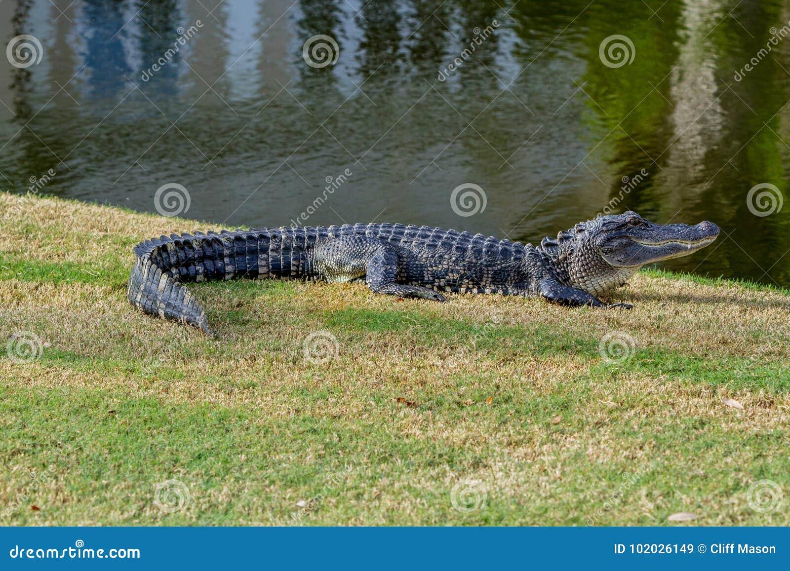 鳄鱼在阳光下