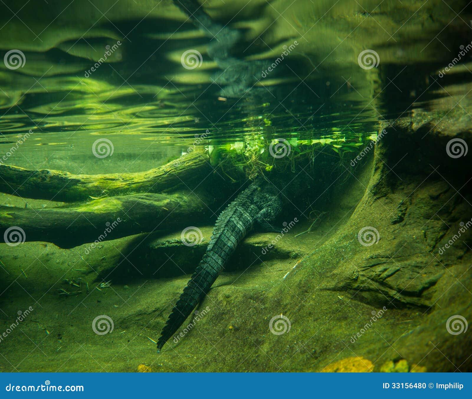 鳄鱼掩藏在水下.图片