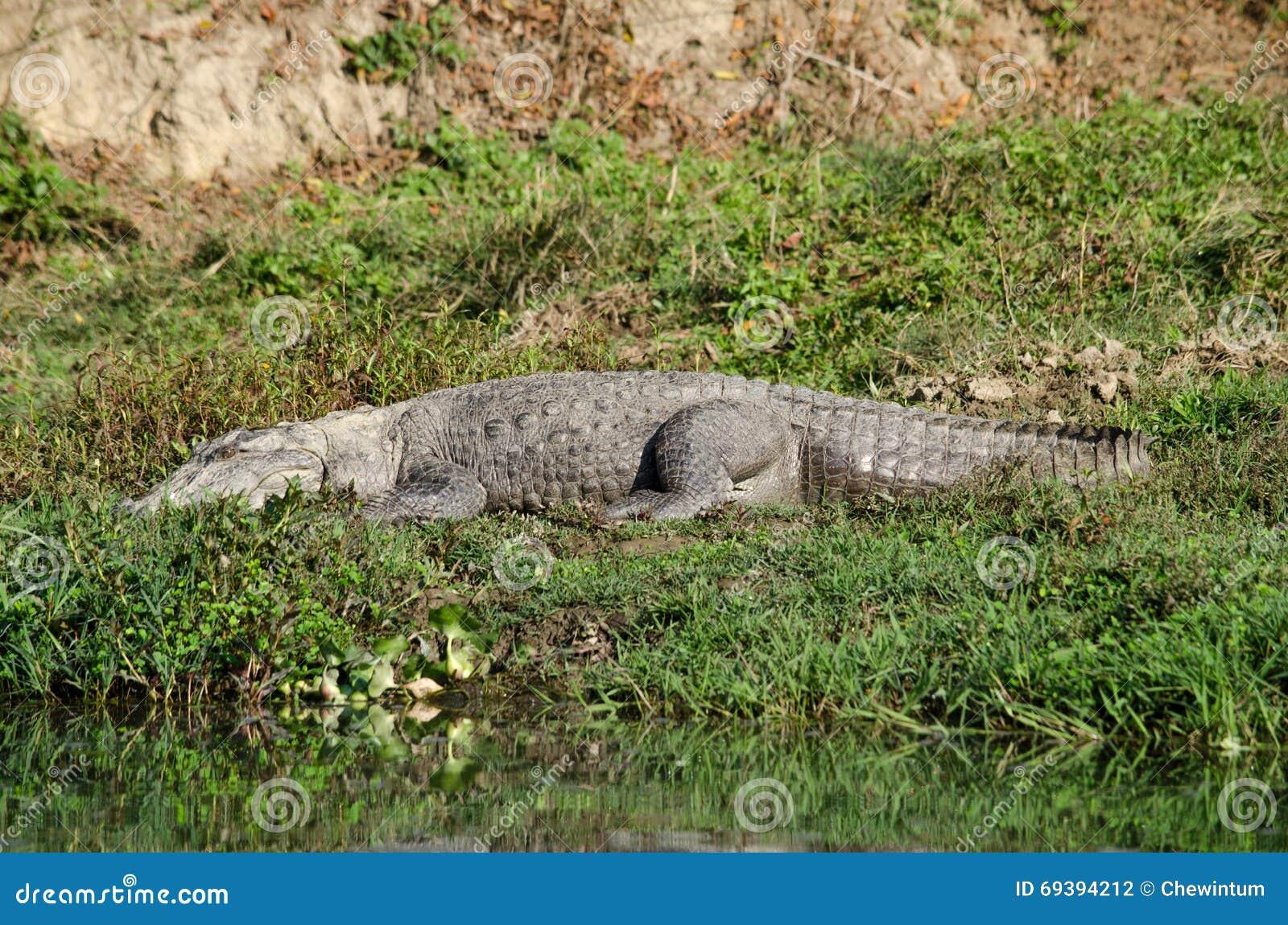 狸和鳄鱼_鳄鱼是半水生的并且倾向于聚集在淡水