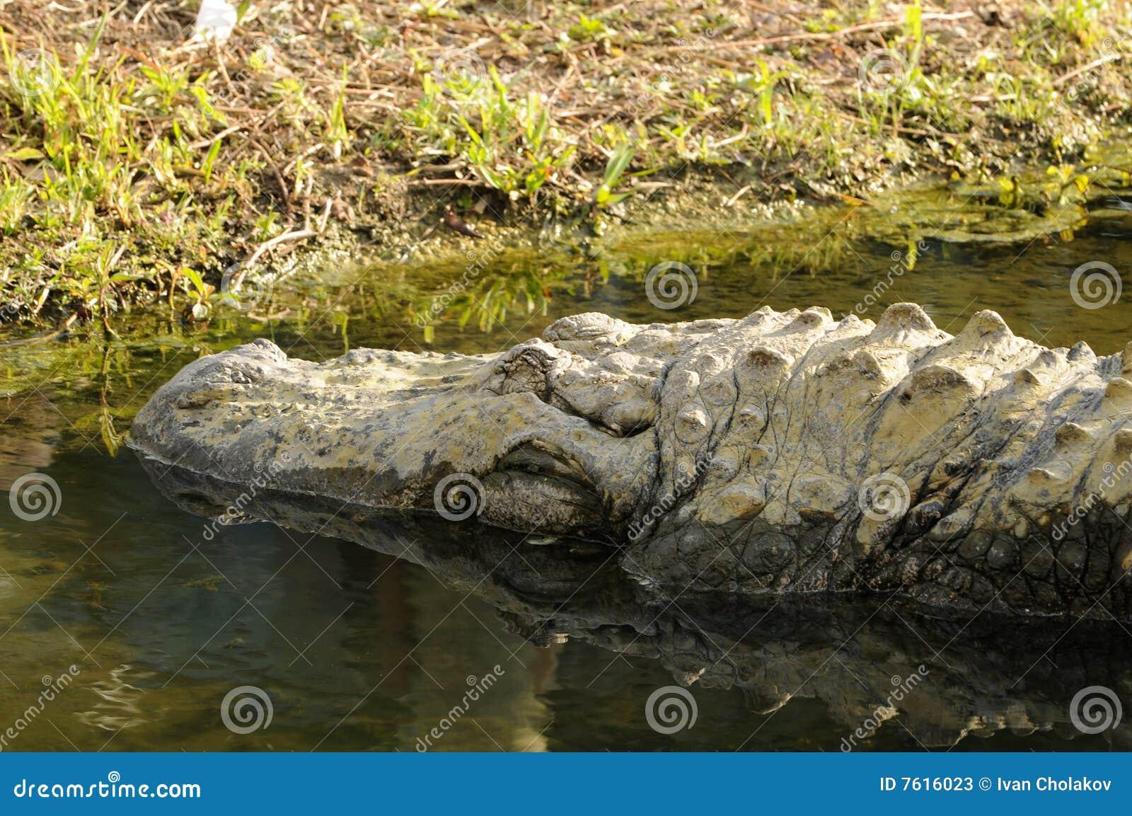 鳄鱼美国人