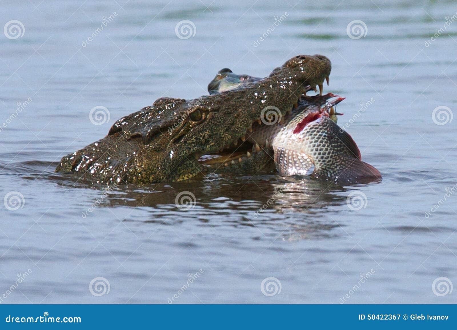 鳄鱼食肉动物的鱼水河湖非洲博茨瓦纳枪口渔.图片