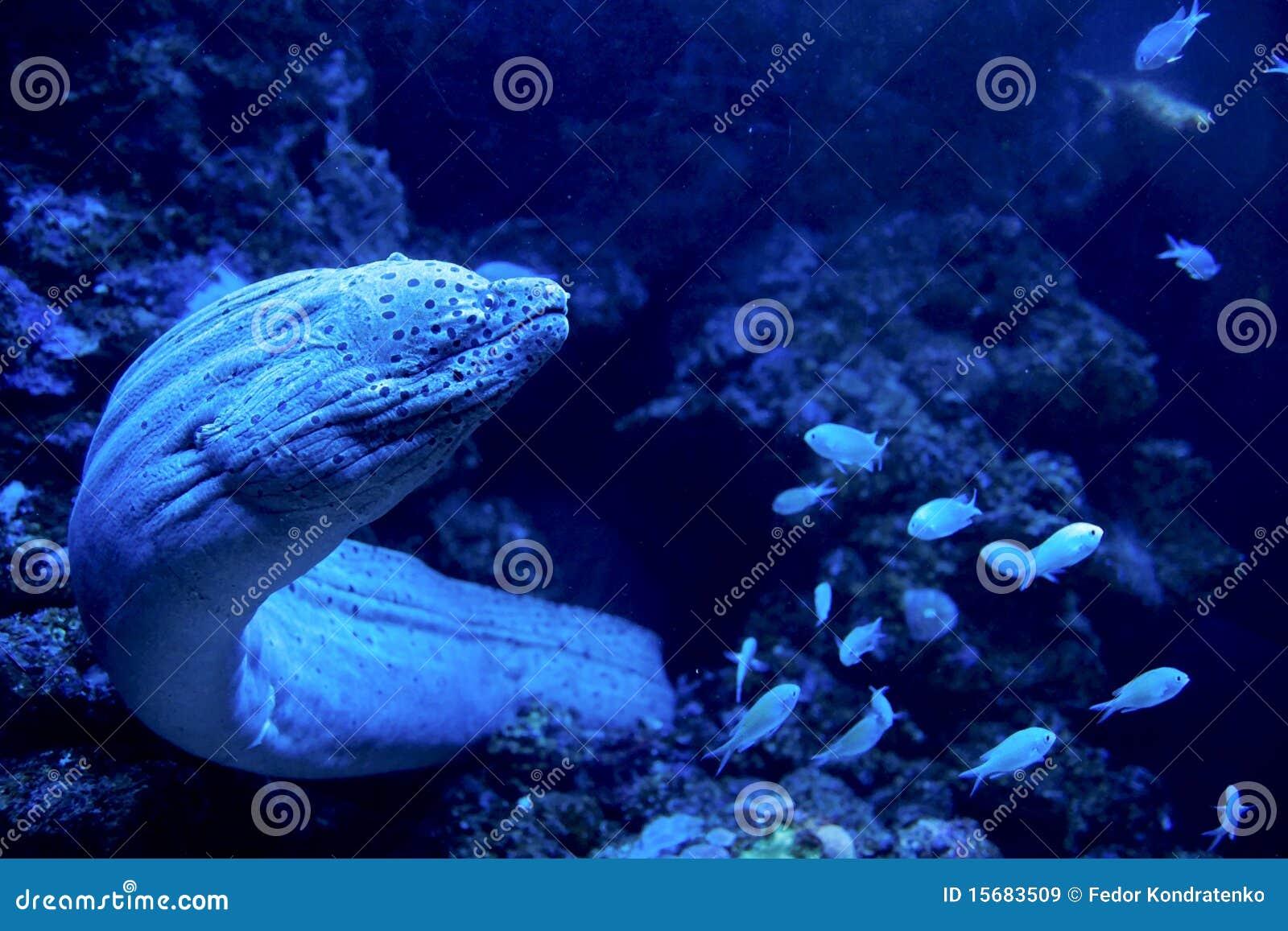 鳗鱼巨人去的搜索海鳗