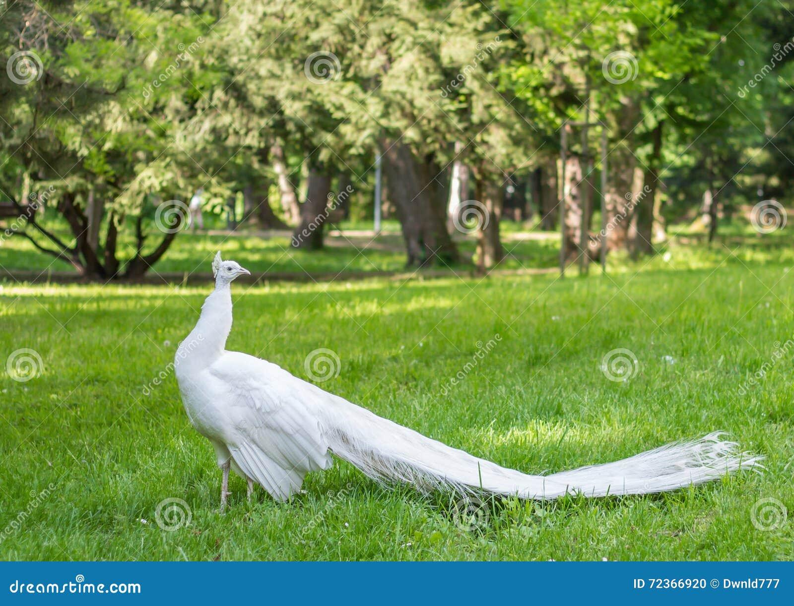 鸟亲切的孔雀少见白色