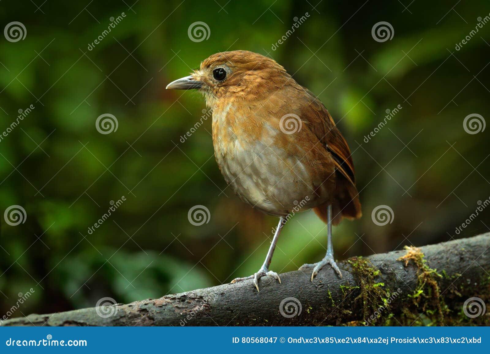 自然褐色_鸟的监视人在哥伦比亚,南美 红褐色Antpitta, Grallaria Rufula ...