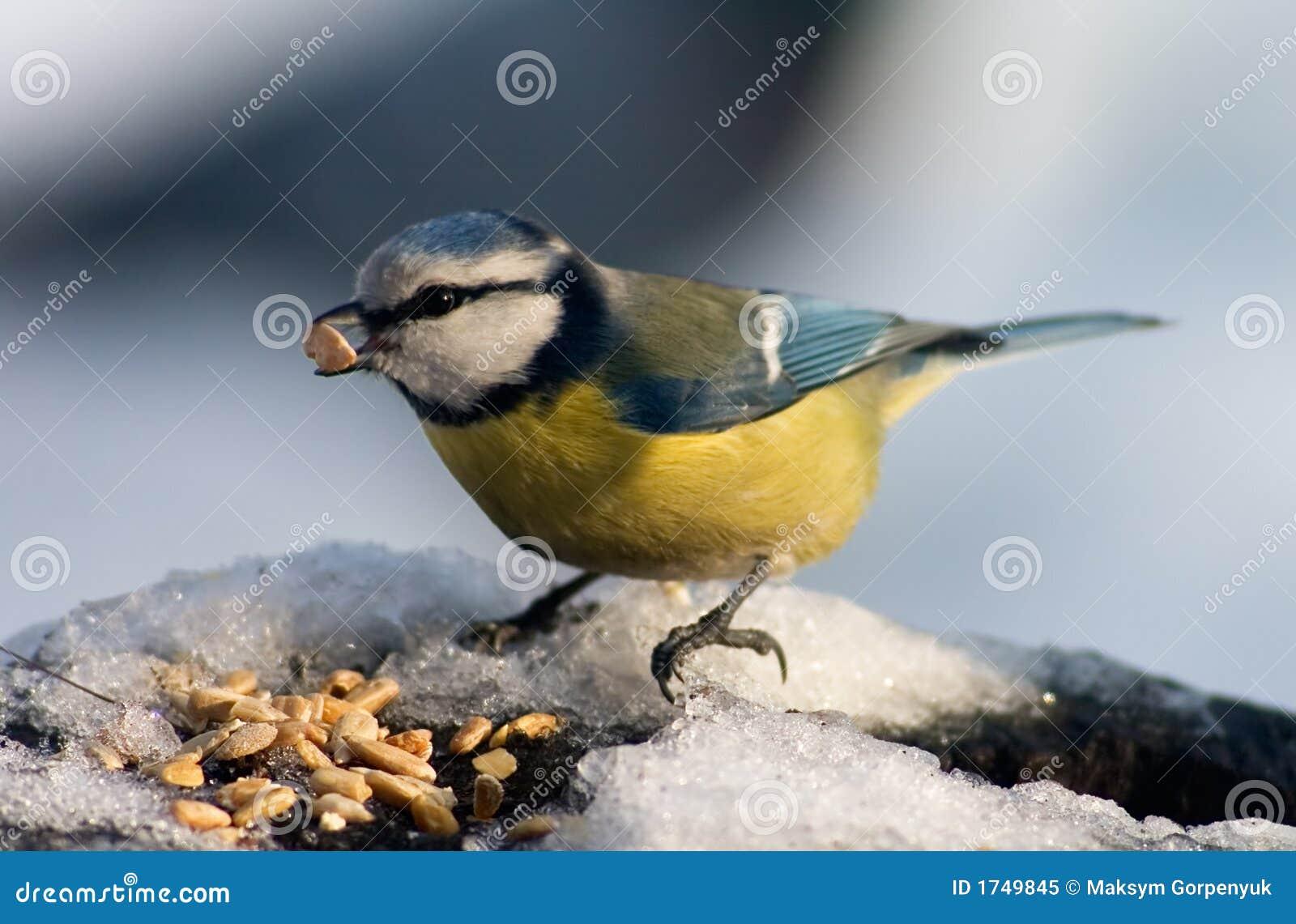 鸟种子吃蓝色夜莺山雀美图图片