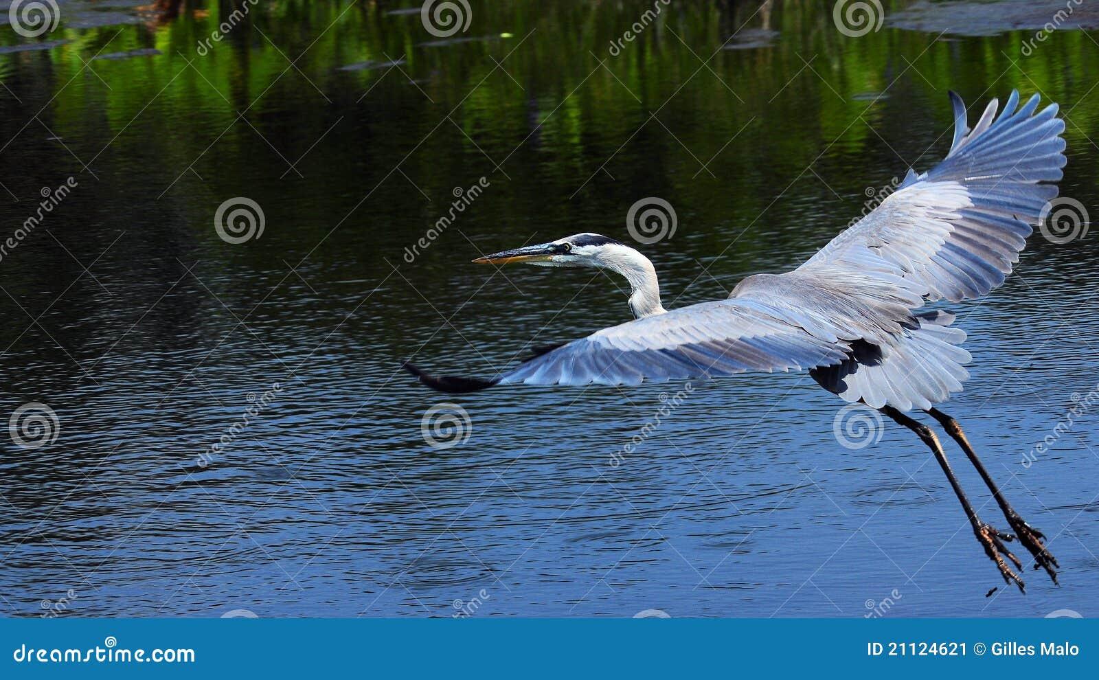 鸟蓝色飞行极大的苍鹭