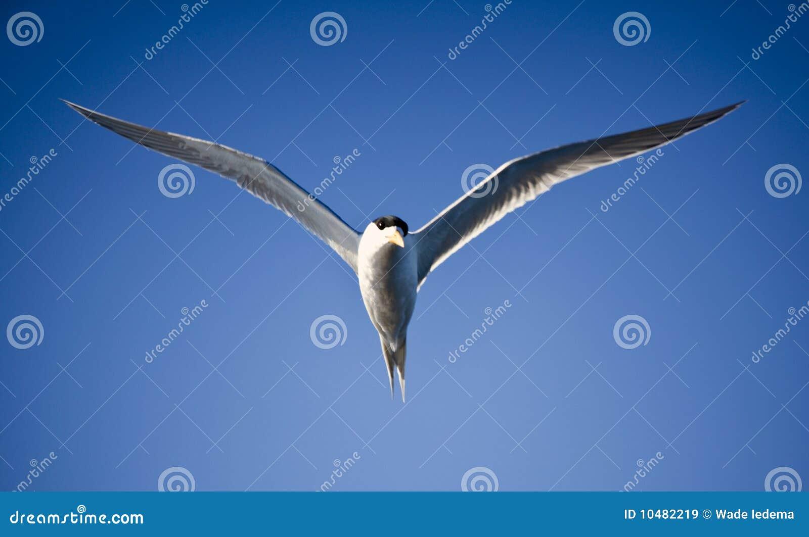鸟蓝色飞行飞行海运天空燕鸥