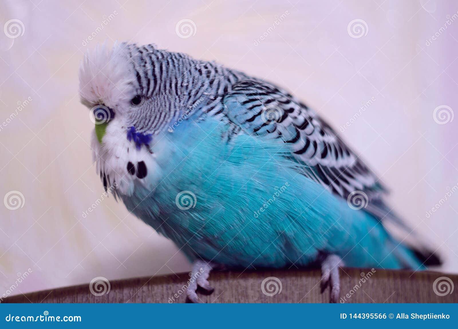鸟,波浪鹦鹉,美丽的蓝色