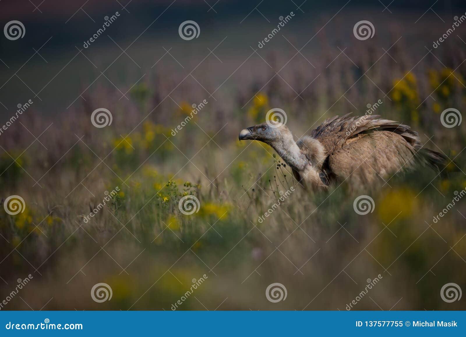 鸟fulvus欺骗lipetsk牺牲者俄国动物园 保加利亚的狂放的本质 自由本质 r Rhodopes 大鸟 山在保加利亚 e