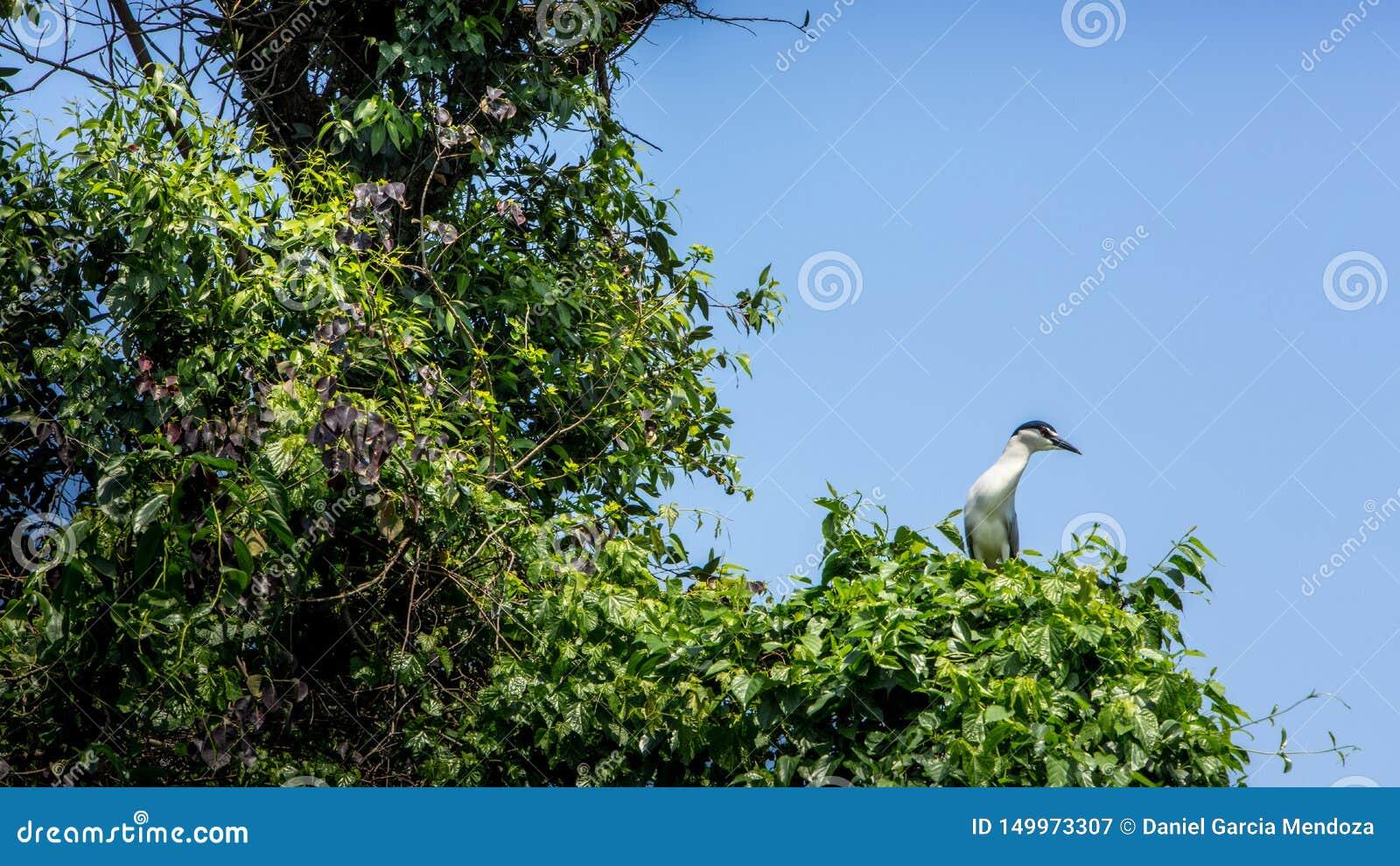 鸟Nycticorax Nycticorax,在树的黑被加冠的夜鹭属