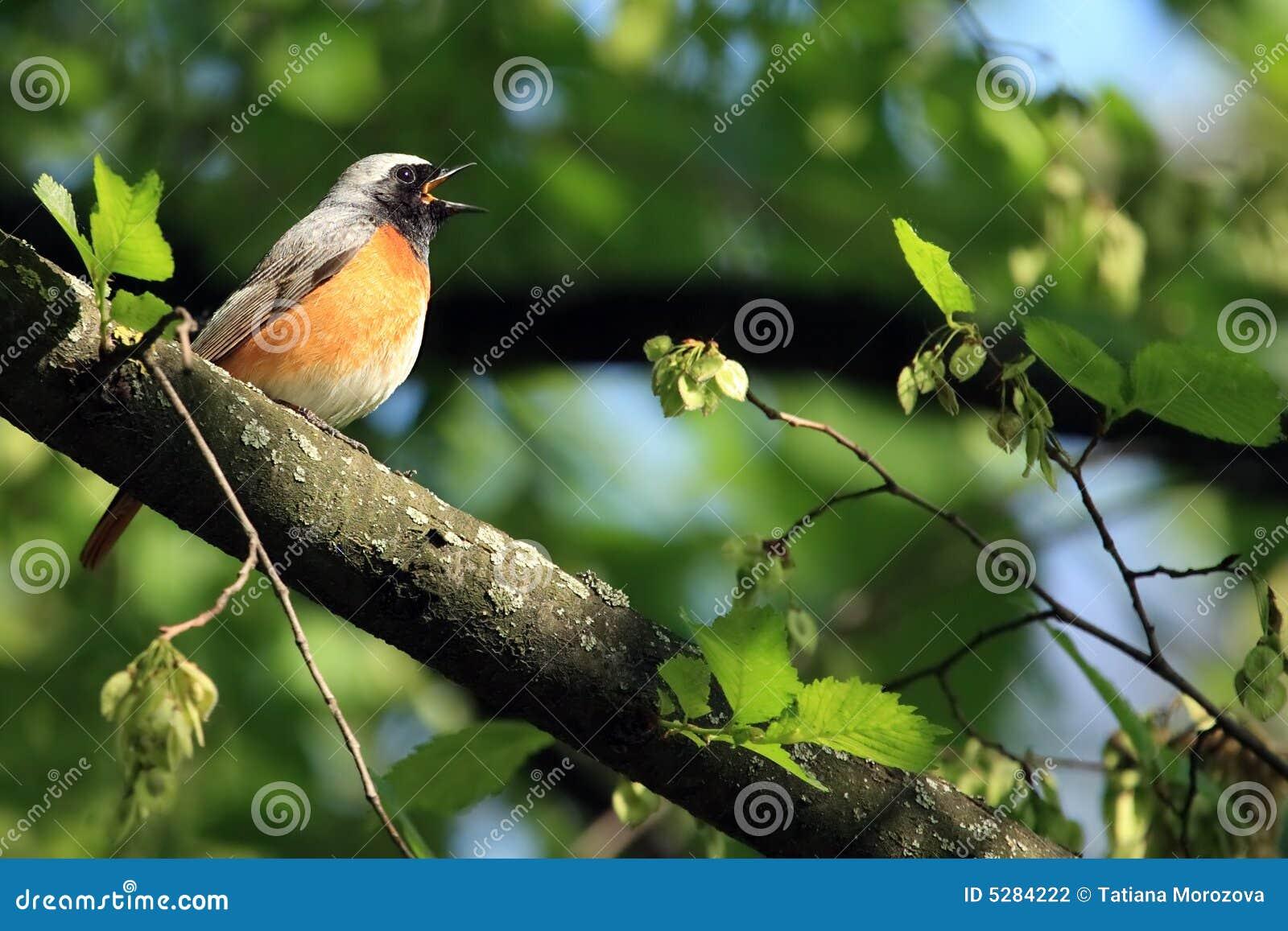 鸟redstart