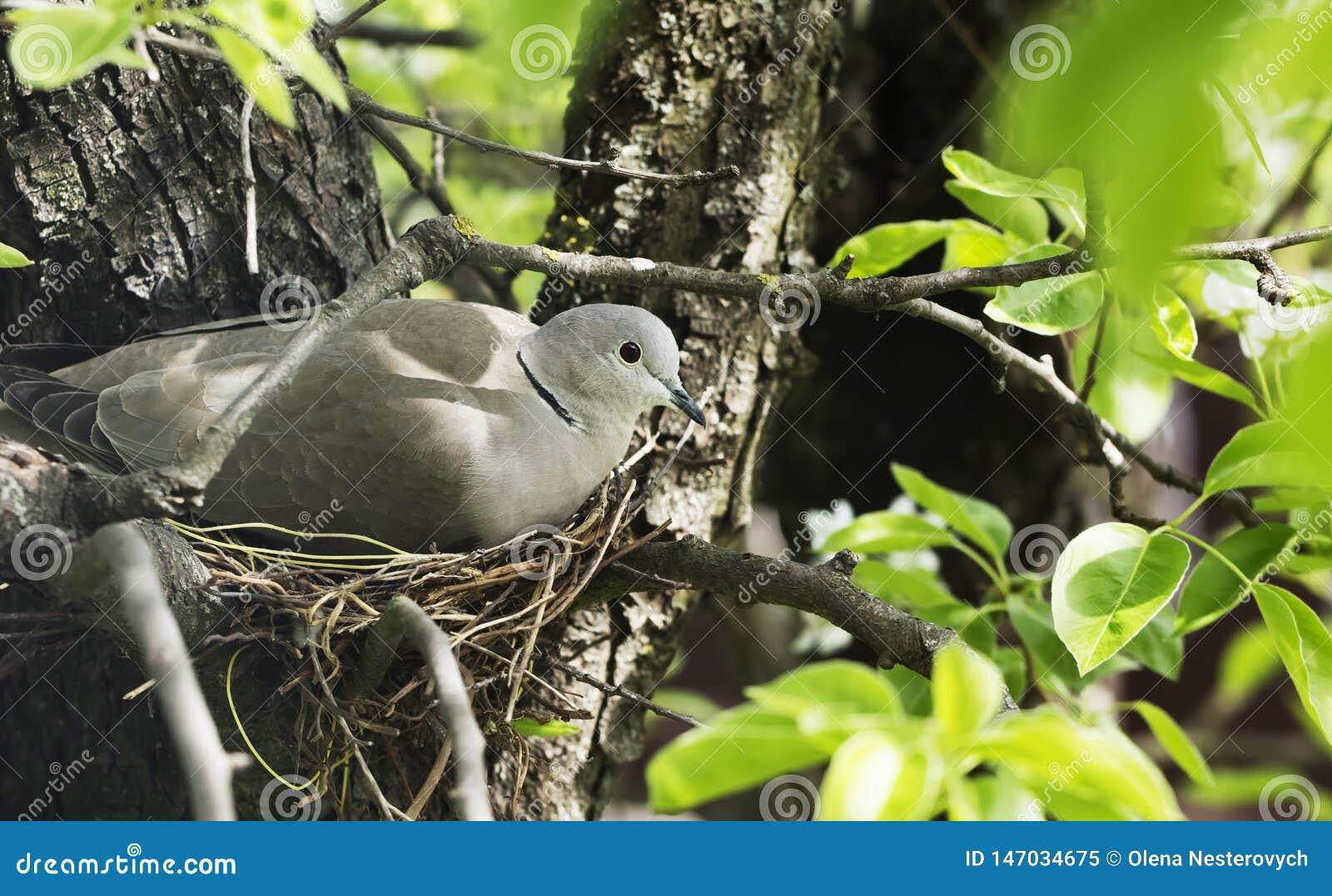 鸠在巢的舱口盖鸡蛋