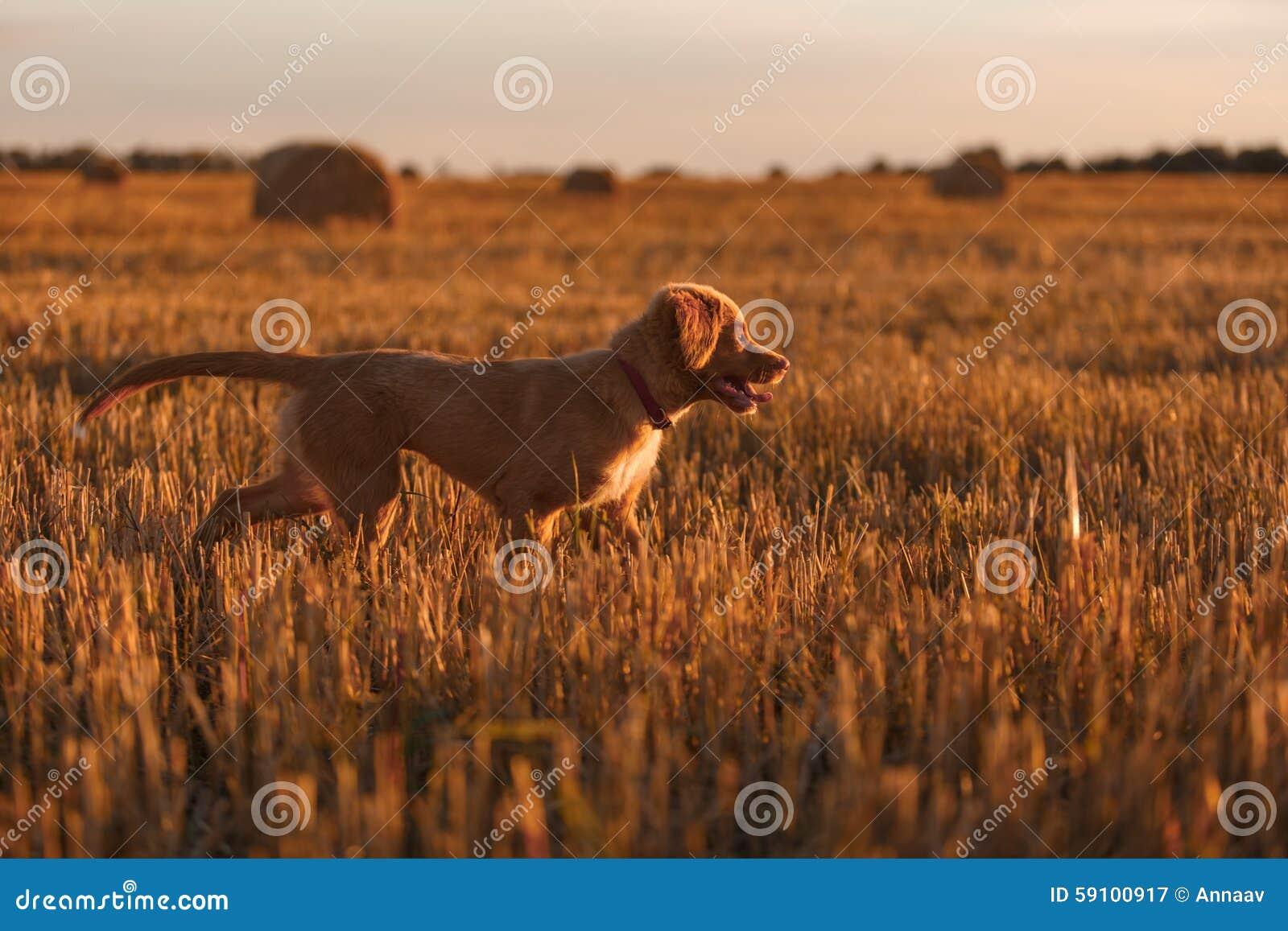 鸣钟人在一个领域的小狗在日落