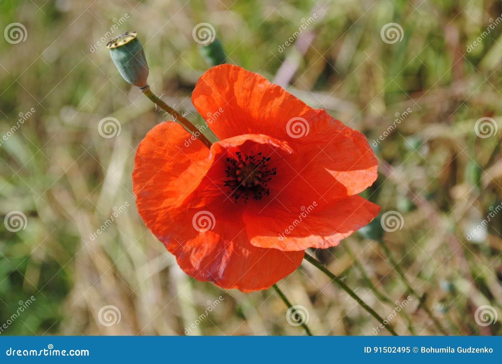 鸦片红色花