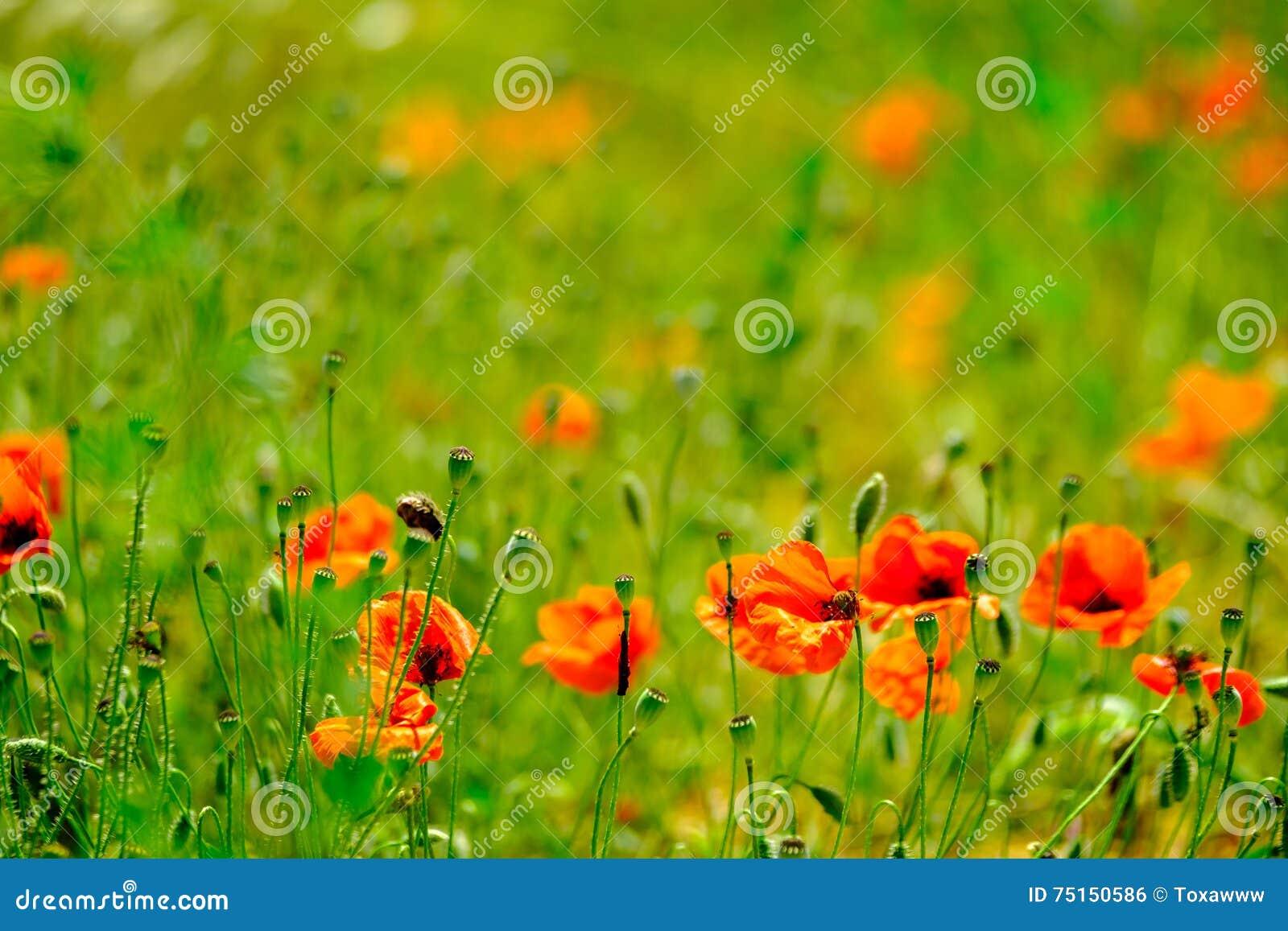 鸦片草甸在夏天