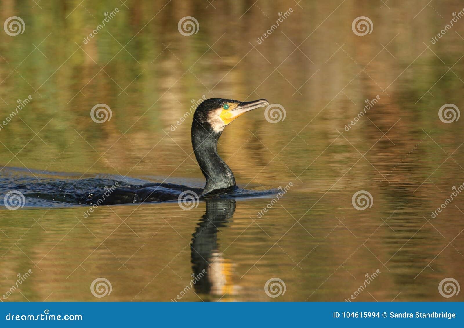 鸬鹚鸬鹚羰游泳在一个湖在秋天在一个晴天 显示在的秋季颜色和反射