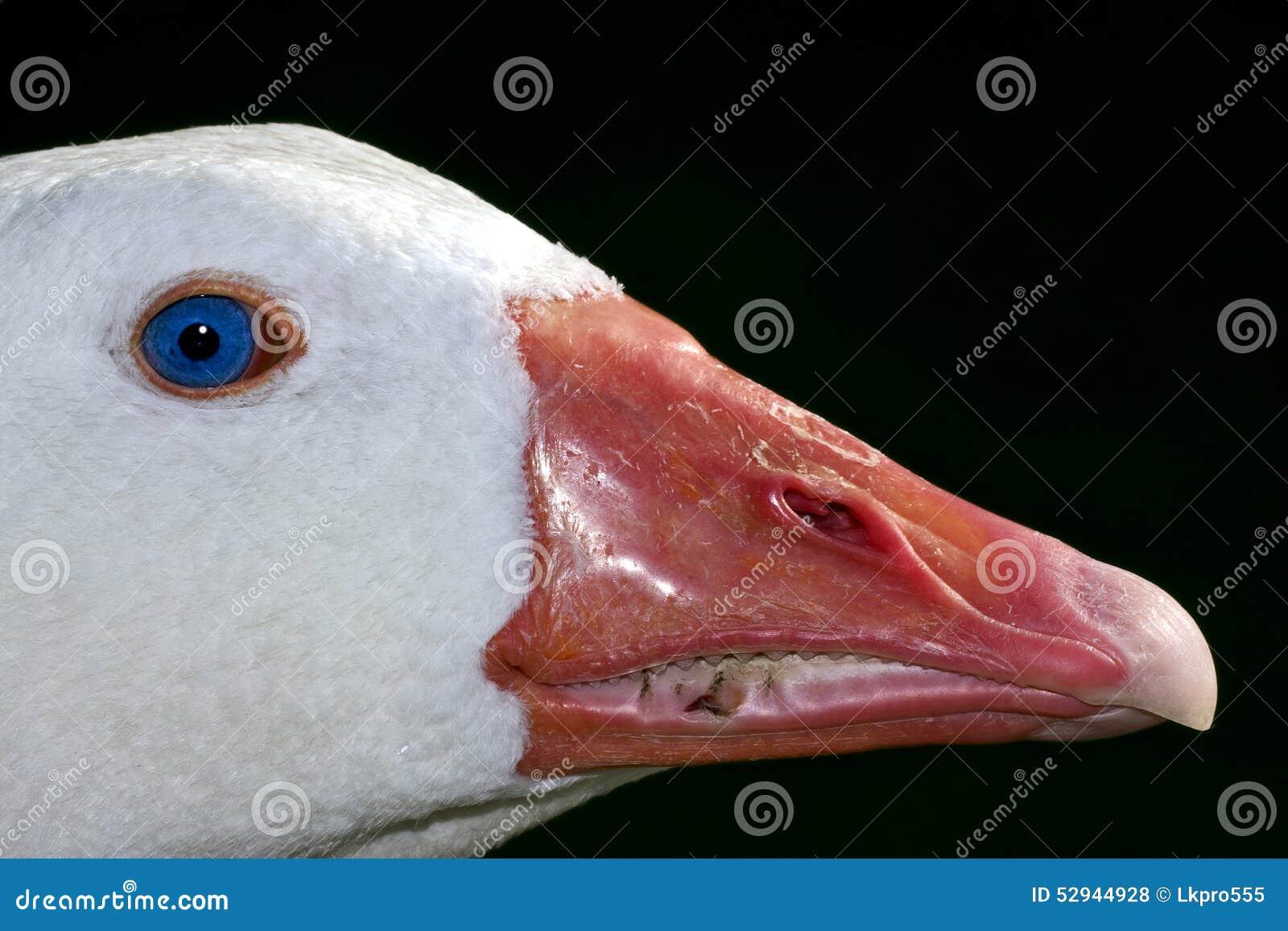 一双白色鸭子丝毫蓝眼睛在布宜诺斯艾利斯阿根廷.