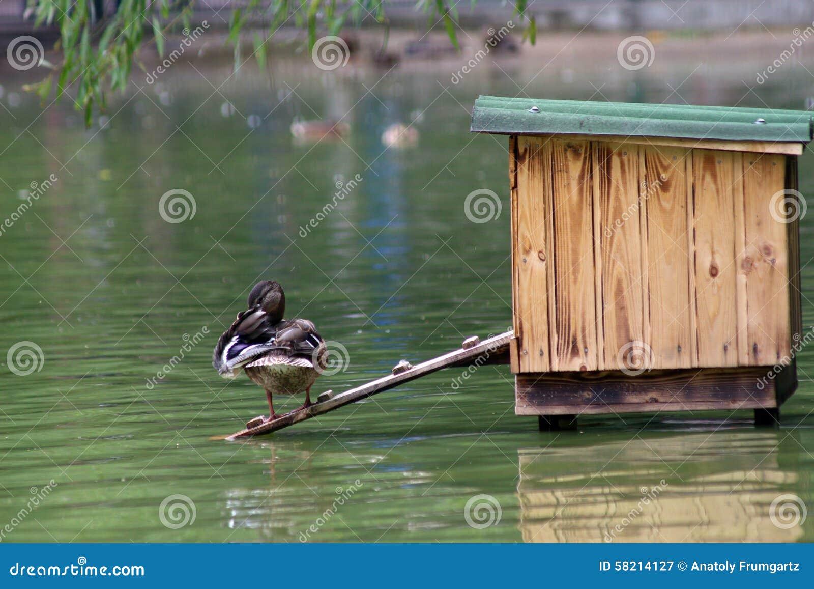 鸭子在池塘