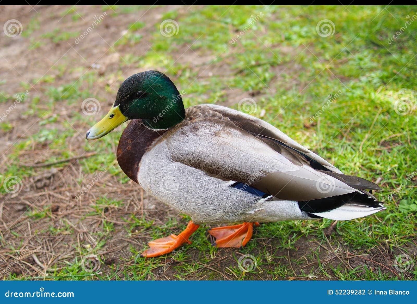 鸭子在Kew庭院,伦敦,英国里