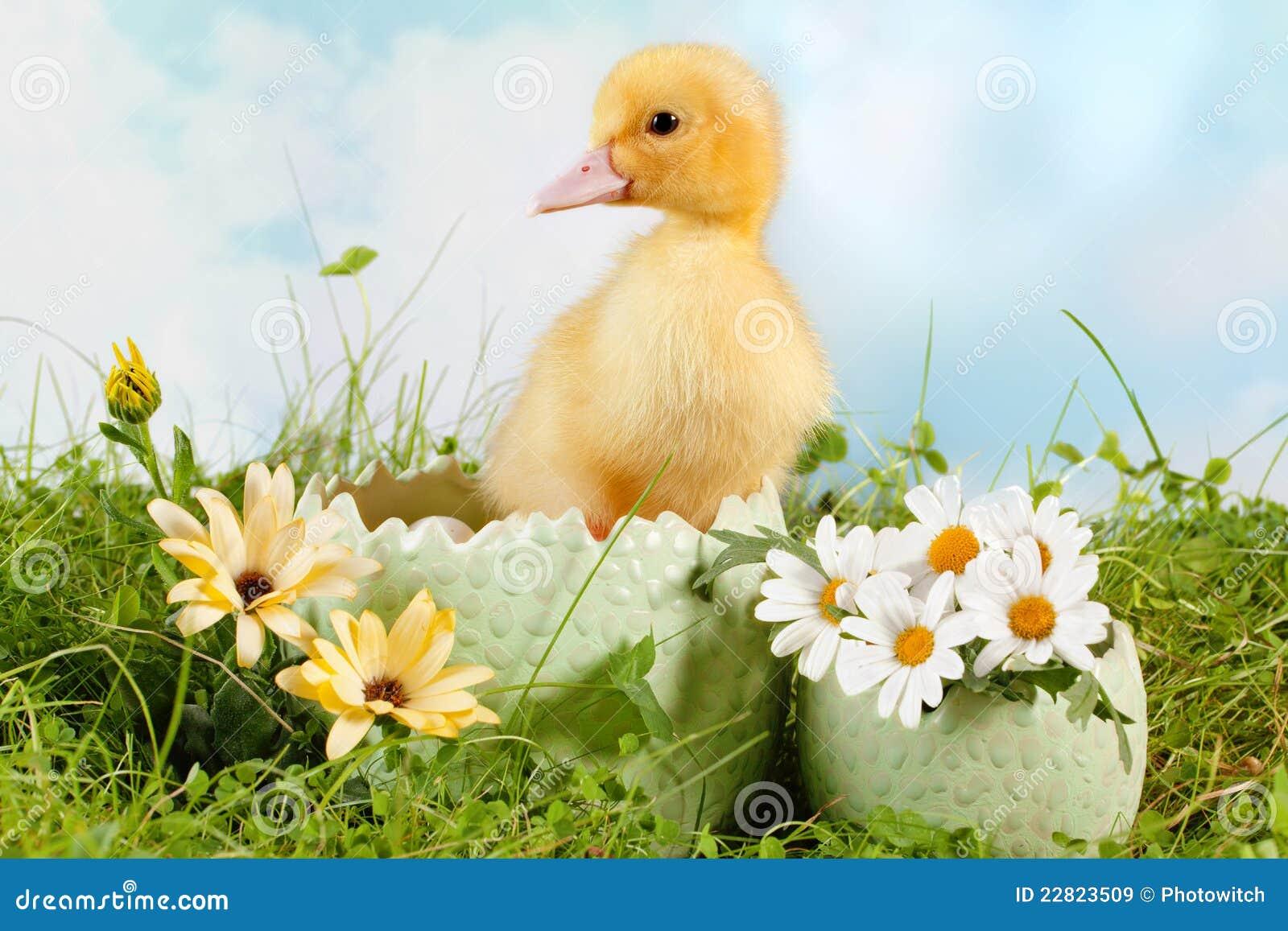 鸭子复活节偷看
