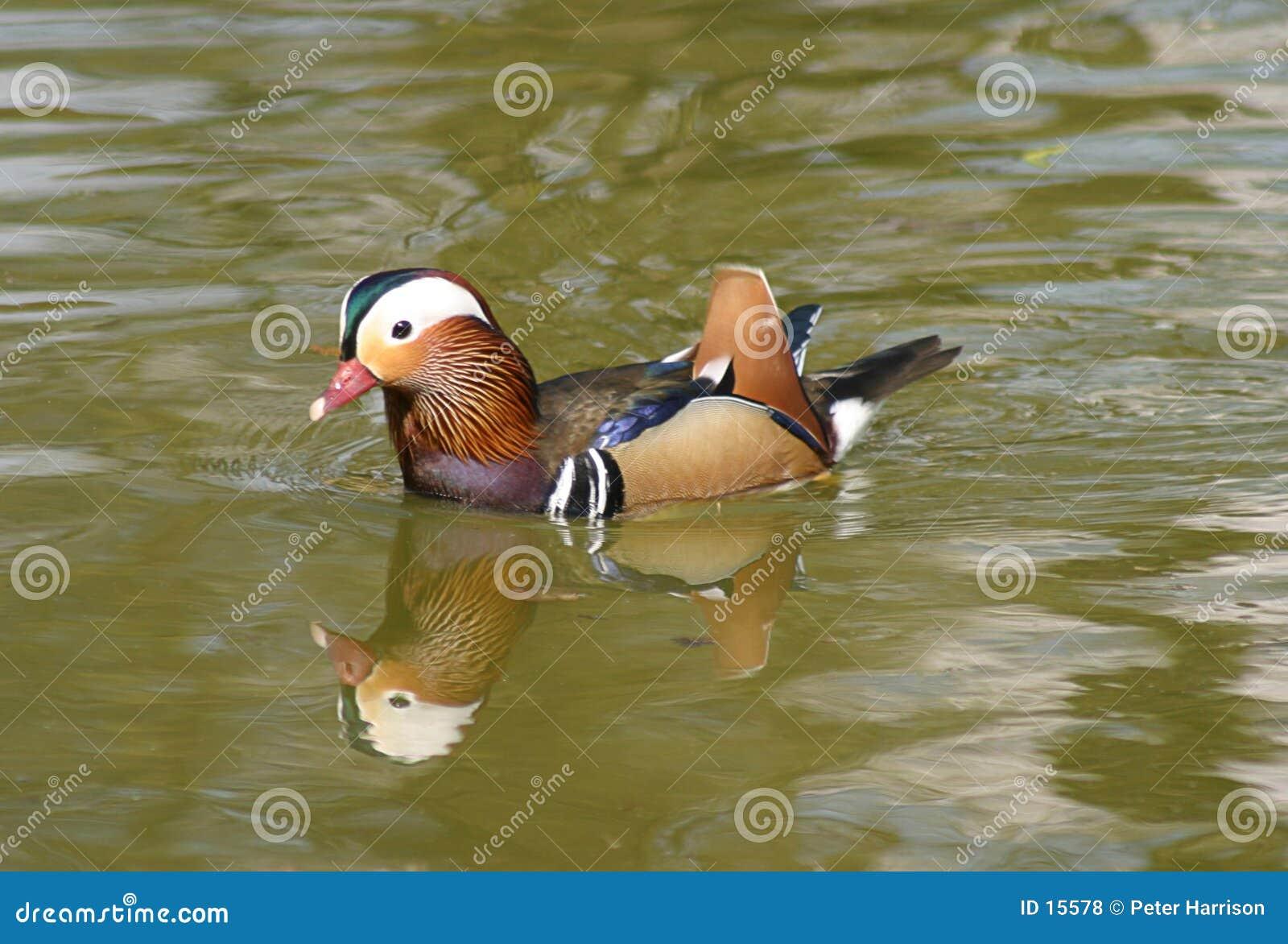 鸭子普通话
