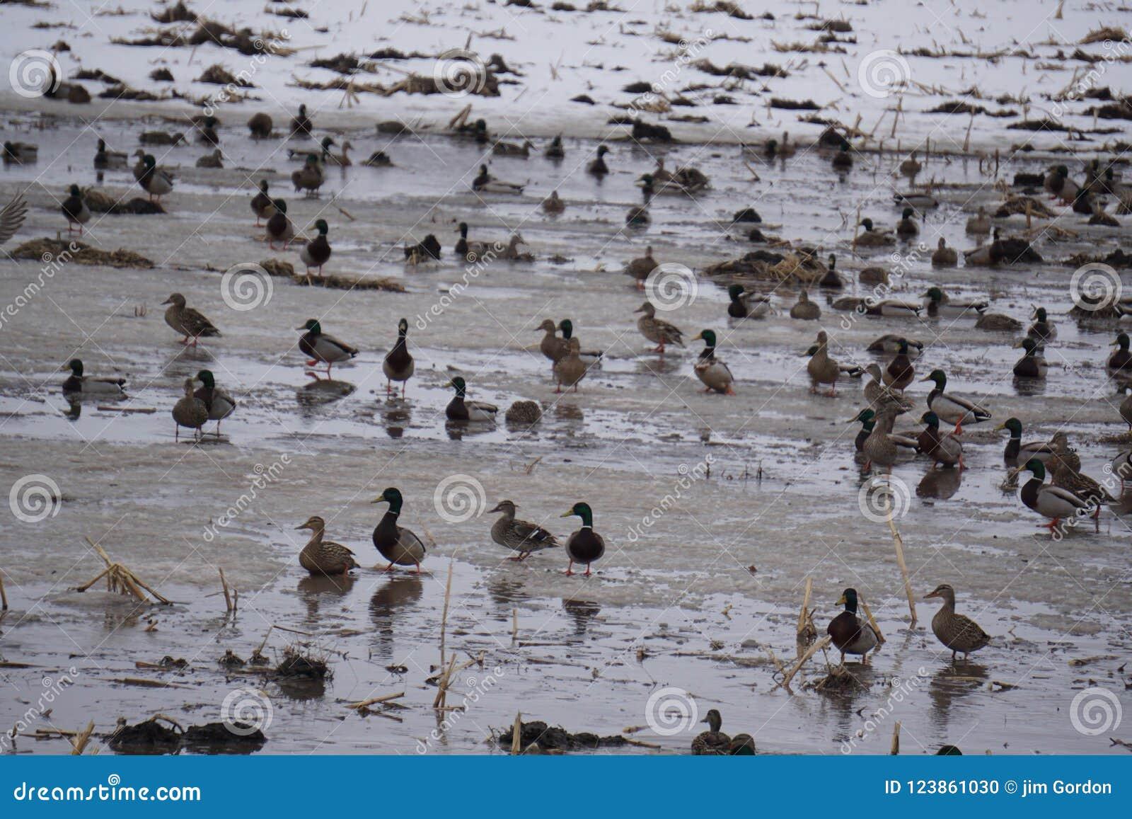 鸭子领域哺养