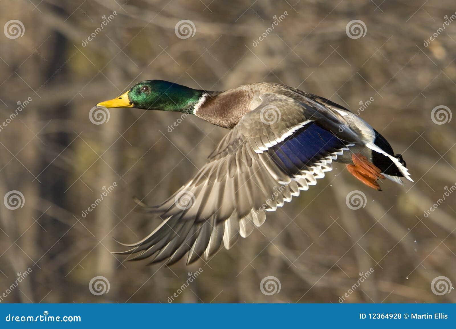 鸭子飞行男野鸭