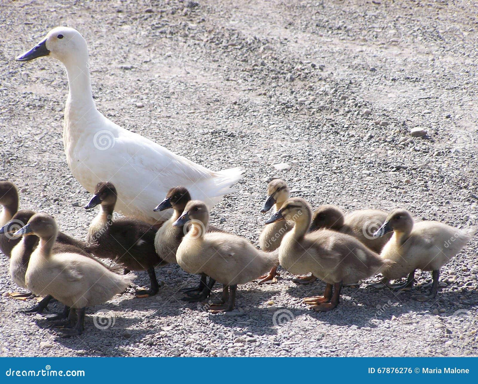 鸭子鸭子她的母亲