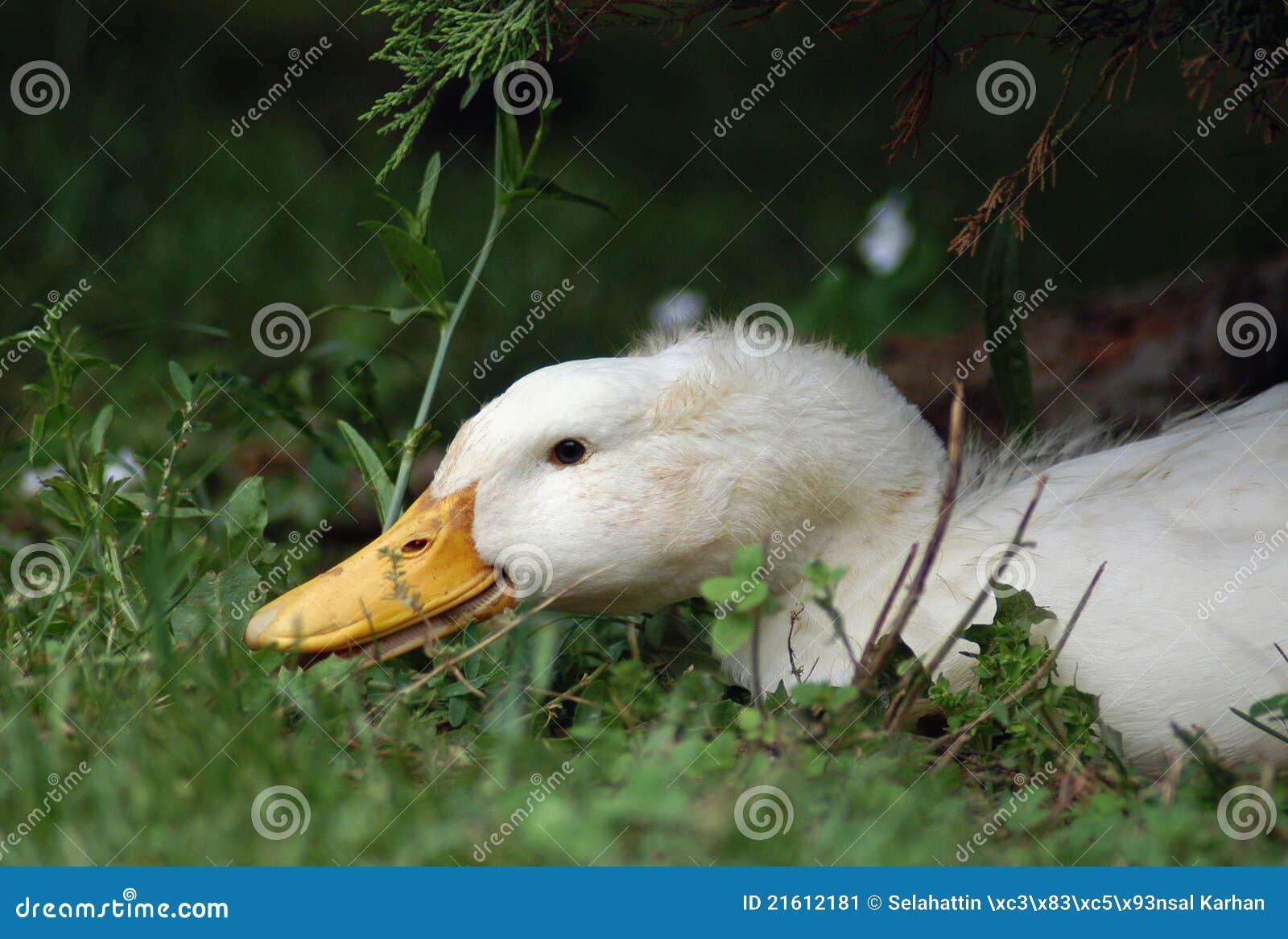 鸭子pekin
