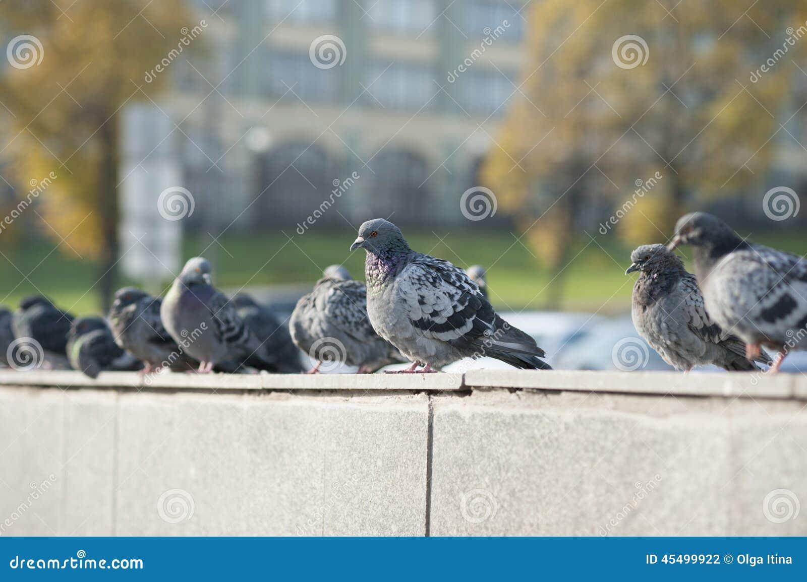 鸽子在秋天城市