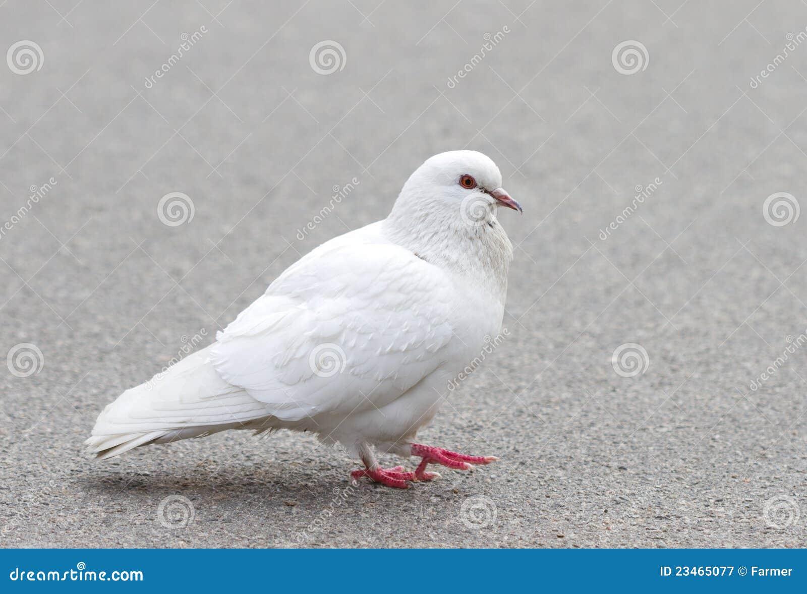 乌龟鸽鸽子鸟动物1300_974鸟类和什么熬汤好图片