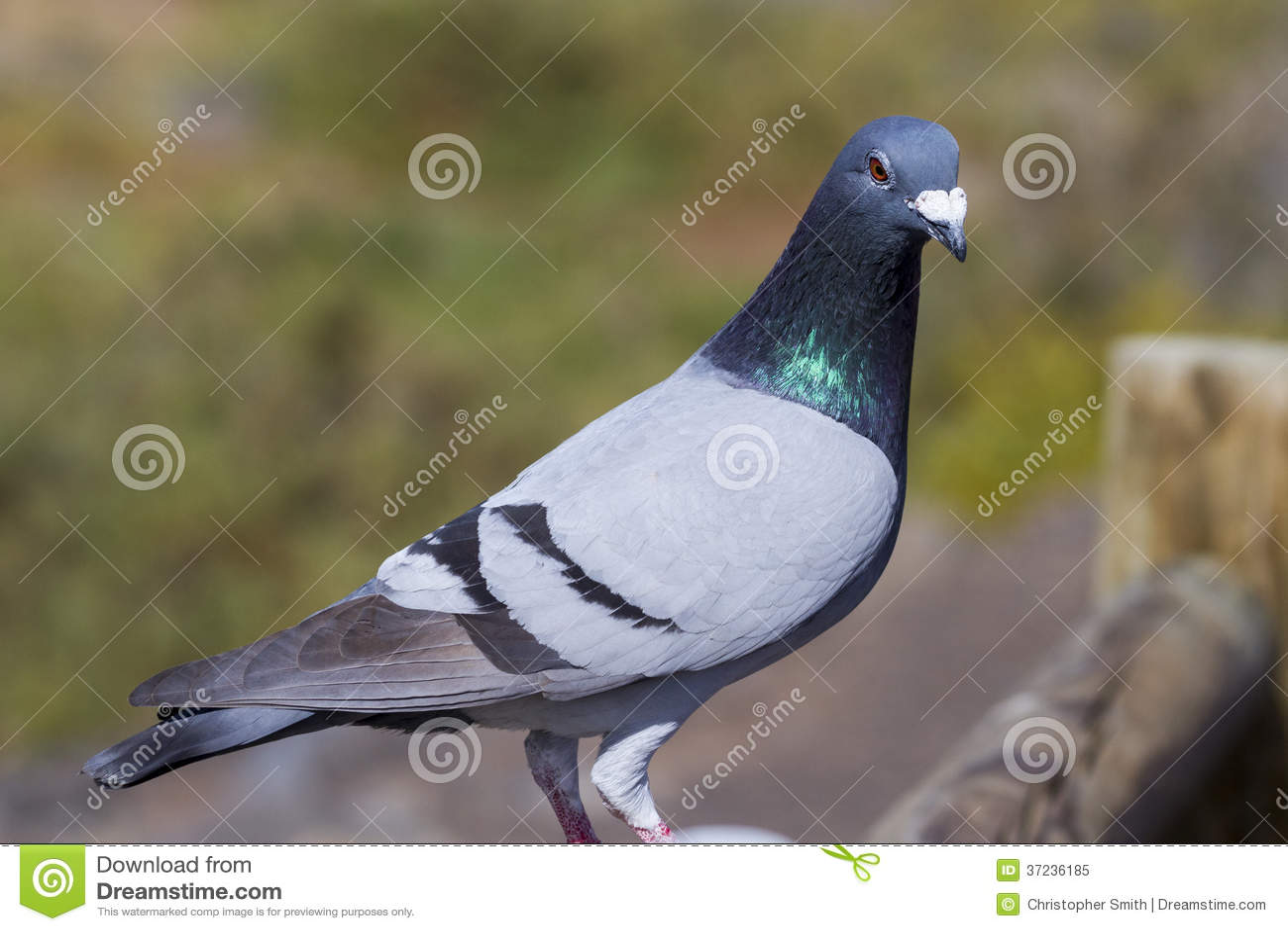 鸽子鸽鸟类鸟动物1300_957蜘蛛侠解说游戏图片