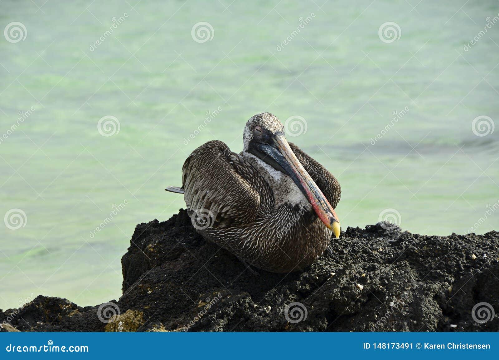 鹈鹕在一块火山岩睡觉