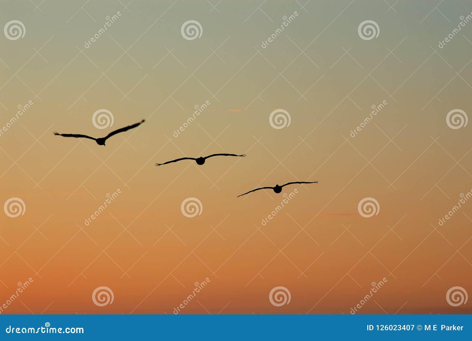 鹈鹕在形成飞行反对日落天空
